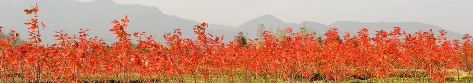 华石秋火焰红枫大树D12CM
