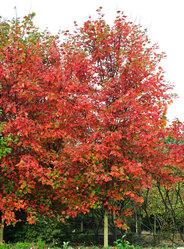 华石红枫秋火焰大树D12CM