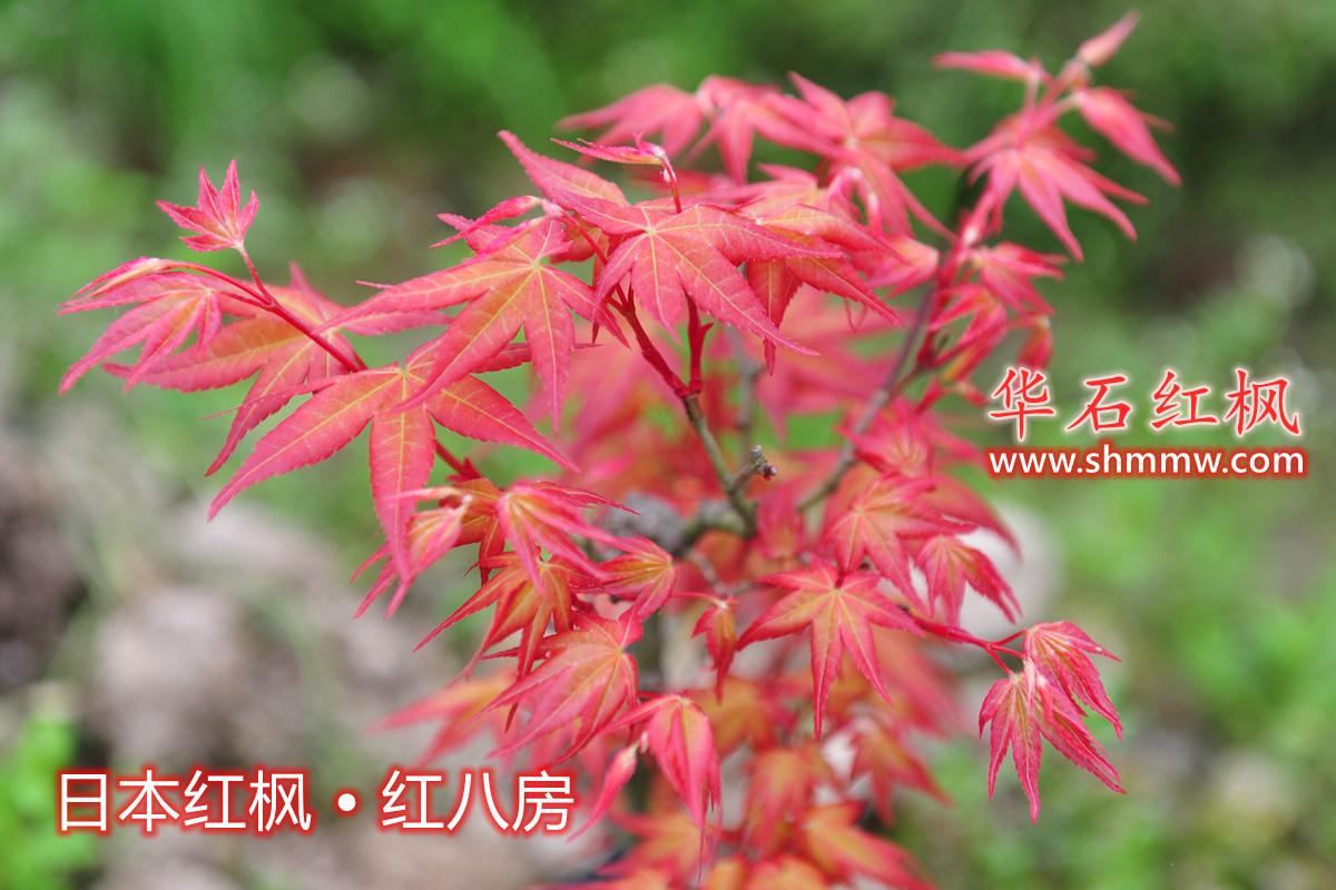 日本红枫 • 红八房