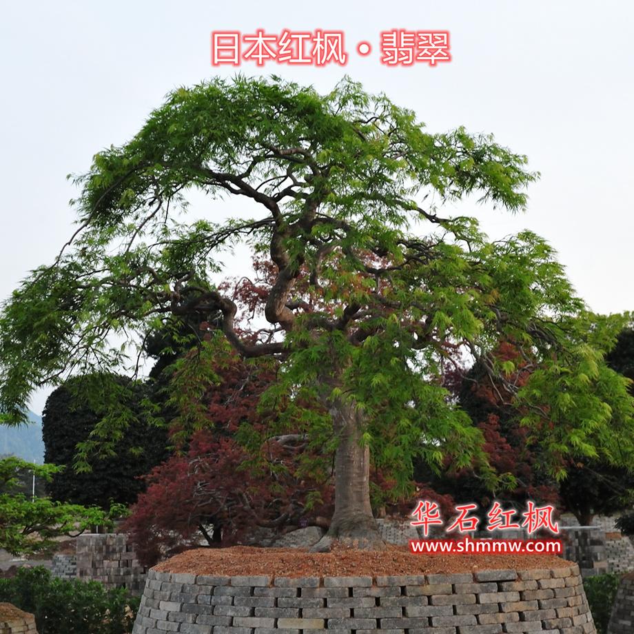日本红枫 • 翡翠