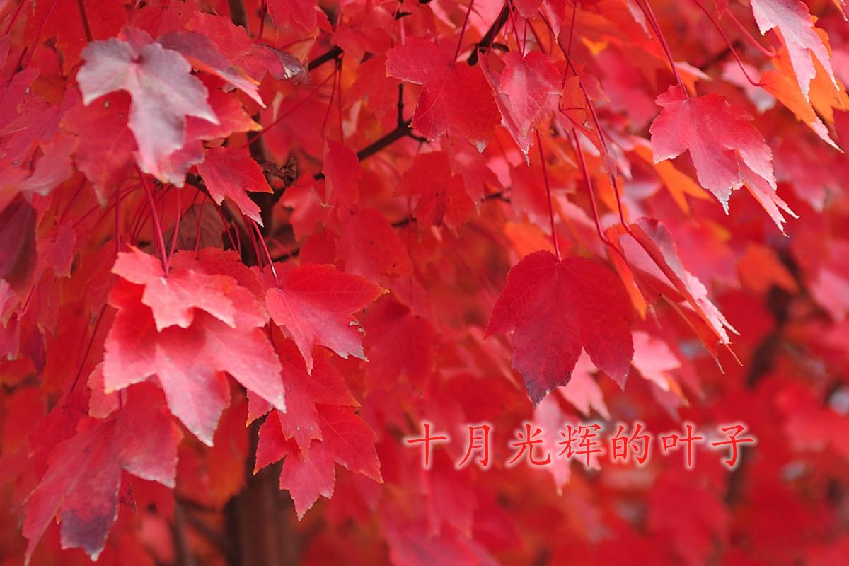 十月光辉-美国红枫