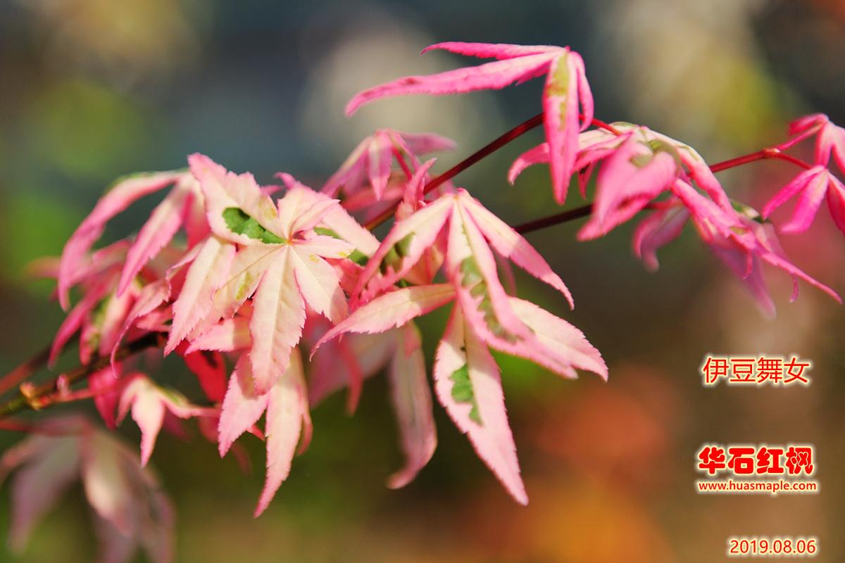 日本枫树品种:伊豆蛹子