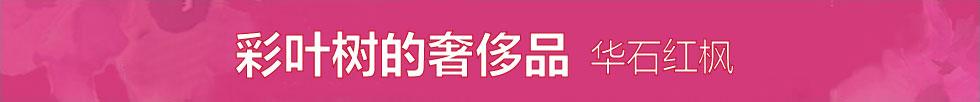 华石美国红枫2012年秋色