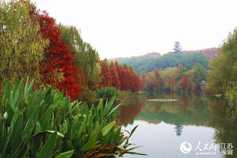 南京钟山风景区层林尽染 展露深秋绝佳美景