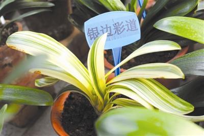 据泰达绿化公司养管人员介绍,本次展出青岛大叶,大胜利,和尚等30余个