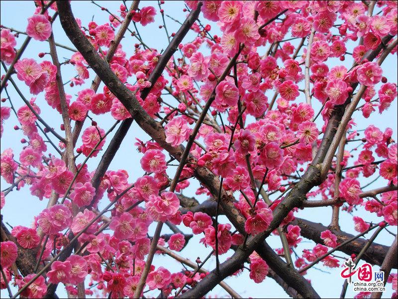 安徽黄山风景区南大门的黄山花谷,百余株鲜艳如霞的梅花次第开放,让不