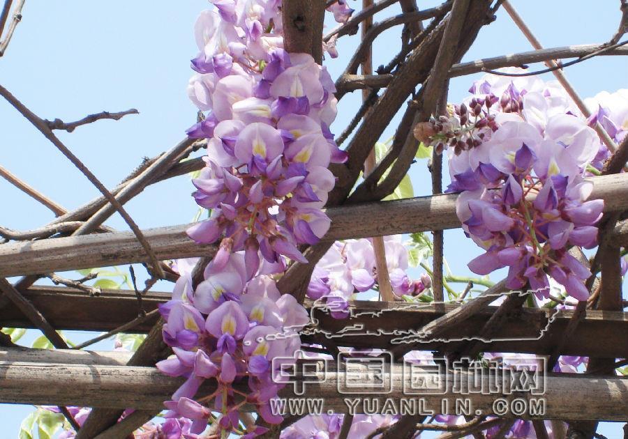 四川:温江藤本植物紫藤价高行情好
