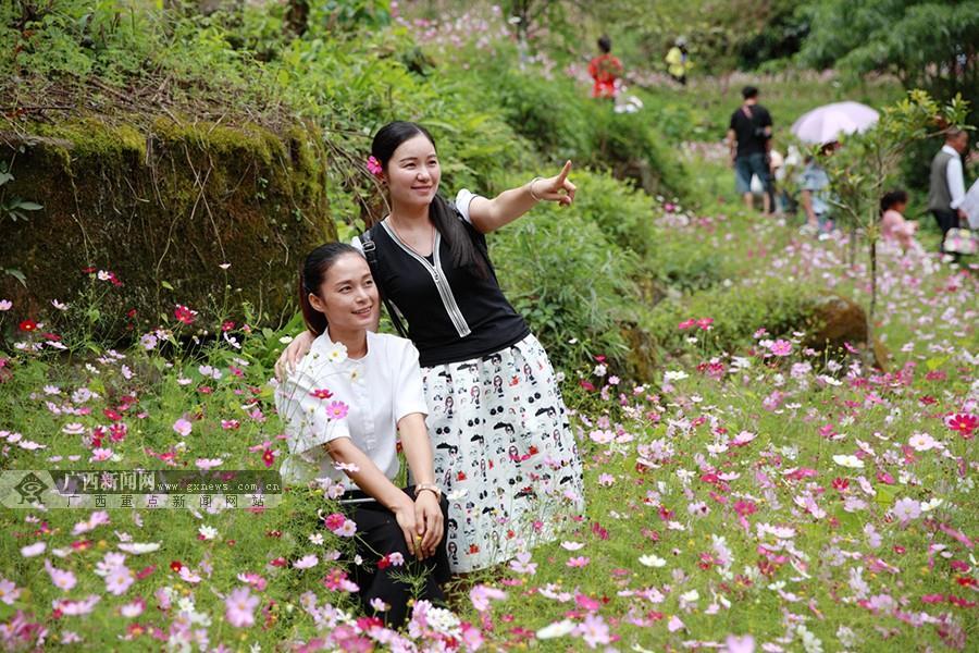 广西:乐业五台山森林公园格桑花海醉游人