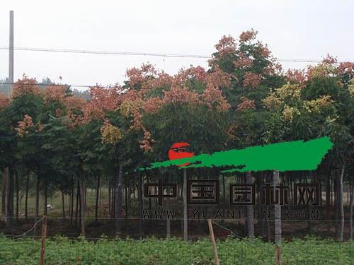 浙江上虞:苗木市场稳定 未来看好黄山栾树