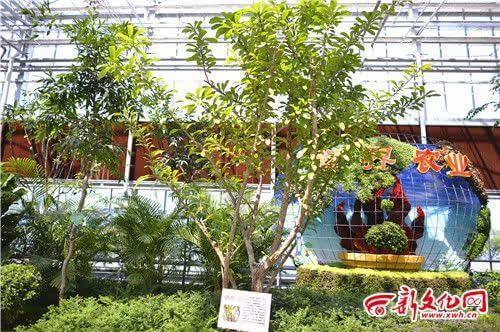 铁西瓜树又叫葫芦树