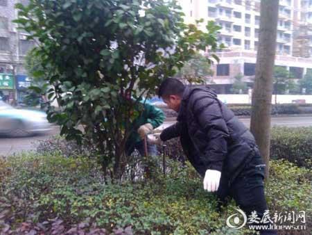 上海苗木网1月19日消息:1月17日,娄底市风景园林管理处城市道路绿化