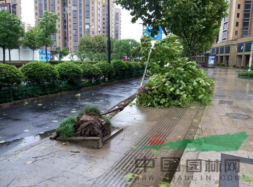 """台风""""灿鸿""""来袭杭州 行道树被连根拔起"""